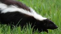 Skunk-jpg_28246_ver1.0