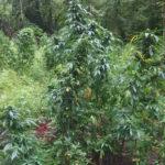Upshur County Marijuana