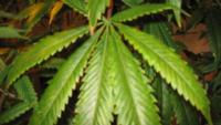 marijuanamgn_1473950198159_11046139_ver1-0